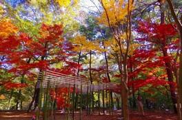 【紅葉・見ごろ】国営武蔵丘陵森林公園 カエデ園