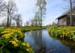 敷地内に咲き誇るエゾリュウキンカの群生。毎年5月が見ごろ