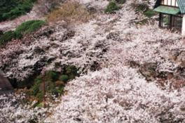 【桜・見頃】須磨浦公園