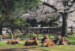 【桜・見頃】奈良公園