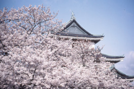 【桜・見頃】和歌山城