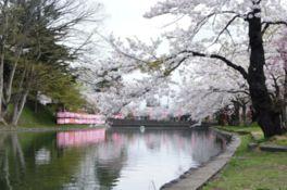 【桜・見頃】最上公園