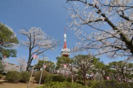 【桜・見頃】八幡山公園