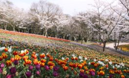 【桜・見頃】火の山公園