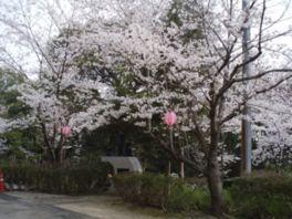 【桜・見頃】鶴形山公園