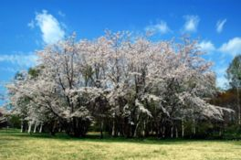 【桜・見頃】北海道立真駒内公園