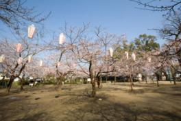 【桜・見頃】亀山公園