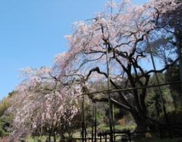 【桜・見頃】田ノ頭郷のしだれ桜(波佐見町)
