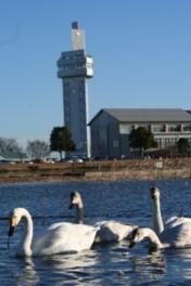 冬になると、タワー前の公園の池に白鳥が飛来