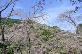 【桜・見頃】福岡市油山市民の森