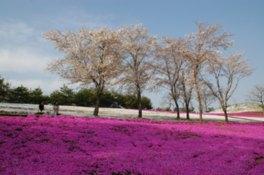 西エリアを鮮やかに覆う芝桜