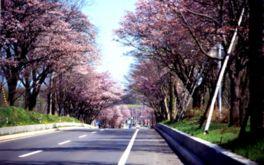 【桜・見頃】登別桜並木