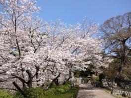 【桜・見頃】久留米城跡