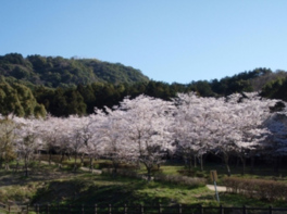 【桜・見頃】太宰府市民の森