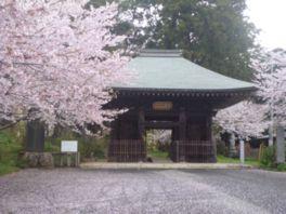 【桜・見頃】西蓮寺