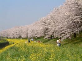 【桜・見頃】さくら堤公園