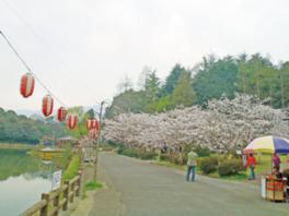 【桜・見頃】滝の宮公園