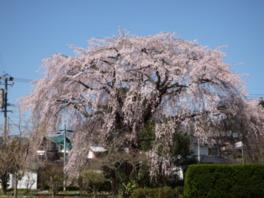 【桜・見頃】原田家のしだれ桜