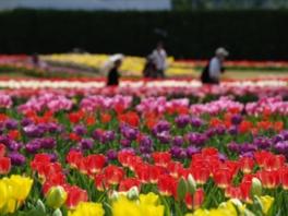 チューリップ約460品種22万本が花壇を覆い尽くす