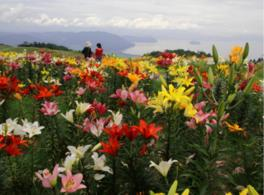 一面のユリ越しに眺める琵琶湖は必見