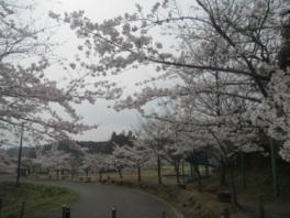 【桜・見頃】小中池公園