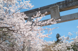 【桜・見頃】宝満宮竈門神社