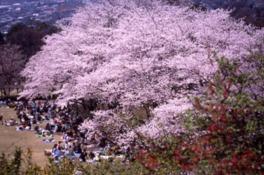 【桜・見頃】広島市植物公園