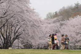 【桜・見頃】県営狭山稲荷山公園