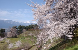 春には雪がまだ残るアルプスを背景にお花見が楽しめる