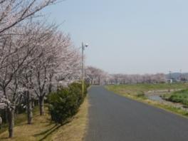 【桜・見頃】里見川周辺緑地