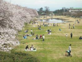 【桜・見頃】富山県中央植物園