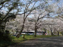 【桜・見頃】愛宕山公園
