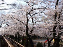 【桜・見頃】横浜市立野毛山動物園・野毛山公園