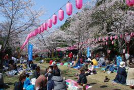 【桜・見頃】石上神宮外苑公園