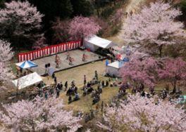 【桜・見頃】かみかわ桜の山 桜華園