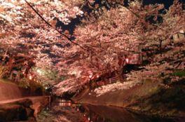 【桜・見頃】吉田川の桜