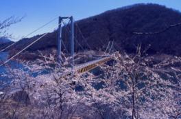 【桜・見頃】九頭竜湖