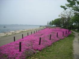大津湖岸なぎさ公園プロムナードのシバザクラスペース