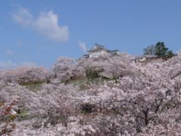 春には1000本の桜が満開に。さくらまつりも開催される