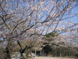 【桜・見頃】虎御前山