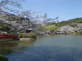【桜・見頃】定光寺公園