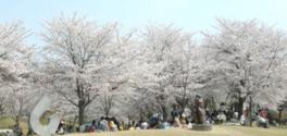 【桜・見頃】京都府立関西文化学術研究都市記念公園(けいはんな記念公園)