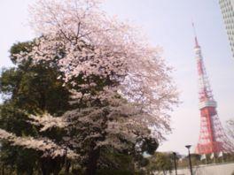 【桜・見頃】芝公園