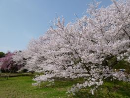 【桜・見頃】京都府立植物園