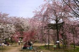 【桜・見頃】滋賀県立近江富士花緑公園