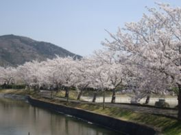 【桜・見頃】北条大池周辺