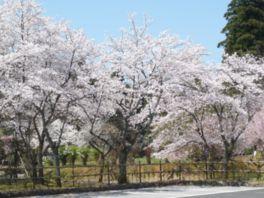 【桜・見頃】万葉の里 味真野苑