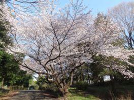 【桜・見頃】所沢航空記念公園