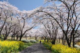 【桜・見頃】国営武蔵丘陵森林公園
