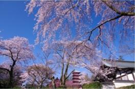 【桜・見頃】本土寺